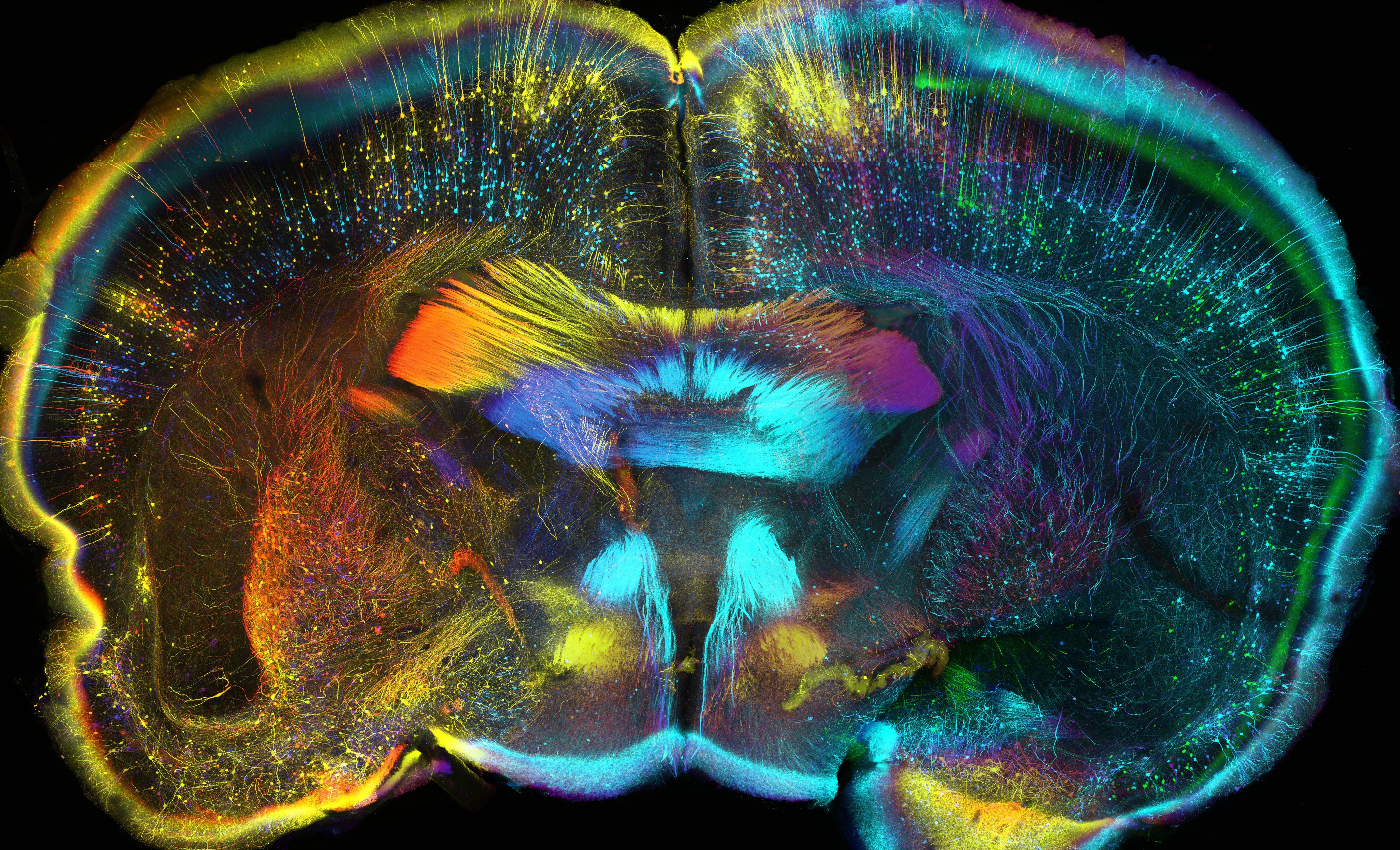 Атлас развития мозга мыши: изо дня в день, клетка за клеткой