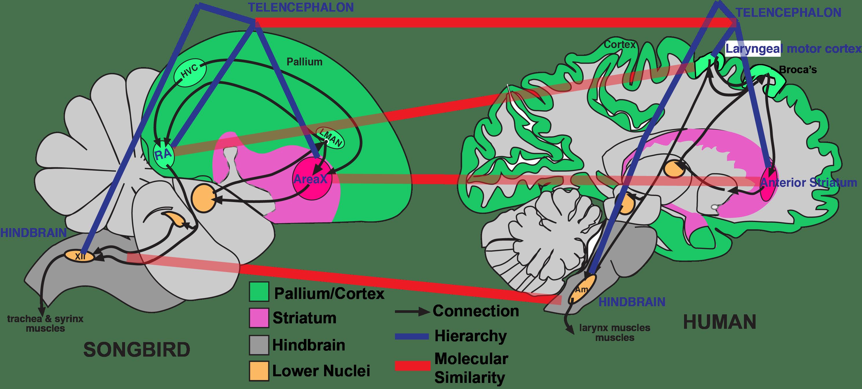 Почему птицы умные, если у их мозга нет коры?