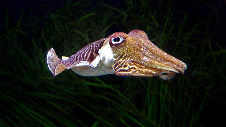 Эпизодическая память каракатиц не ослабла с возрастом