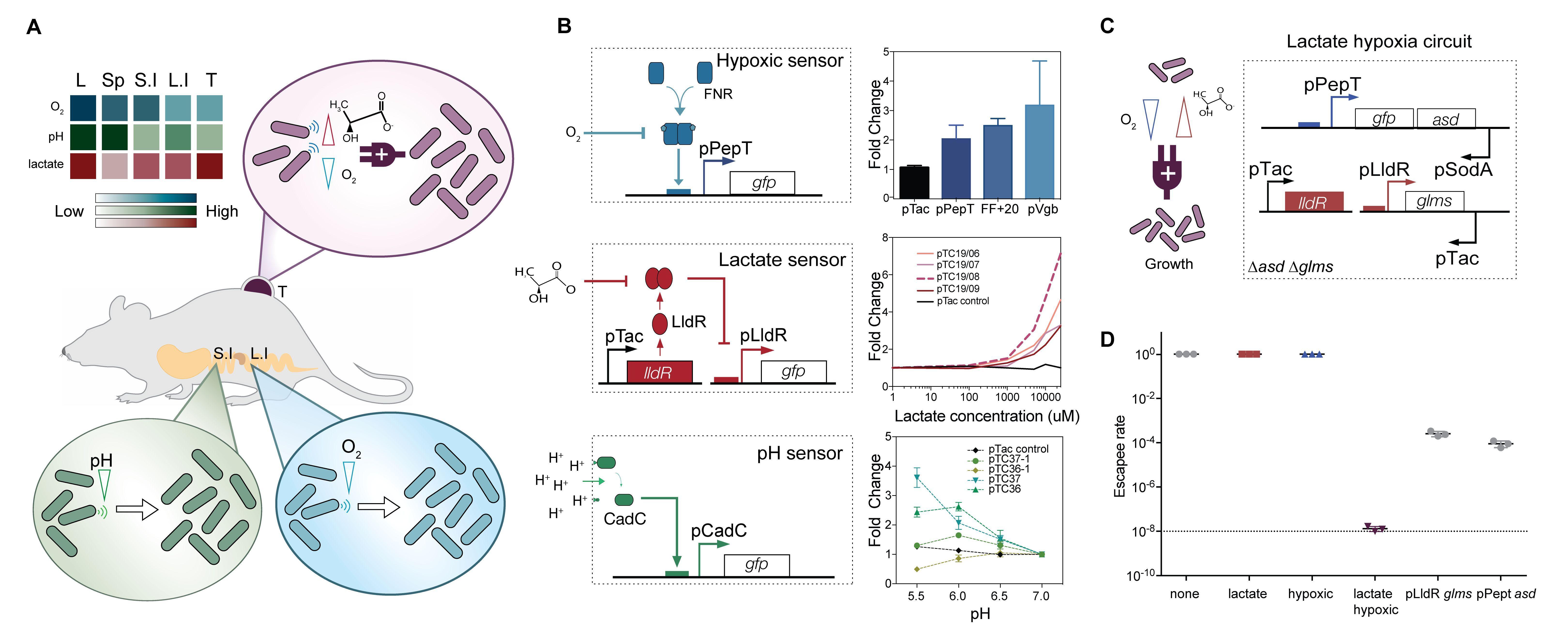 Рост бактерий локализовали в отдельных тканях и опухолях мышей
