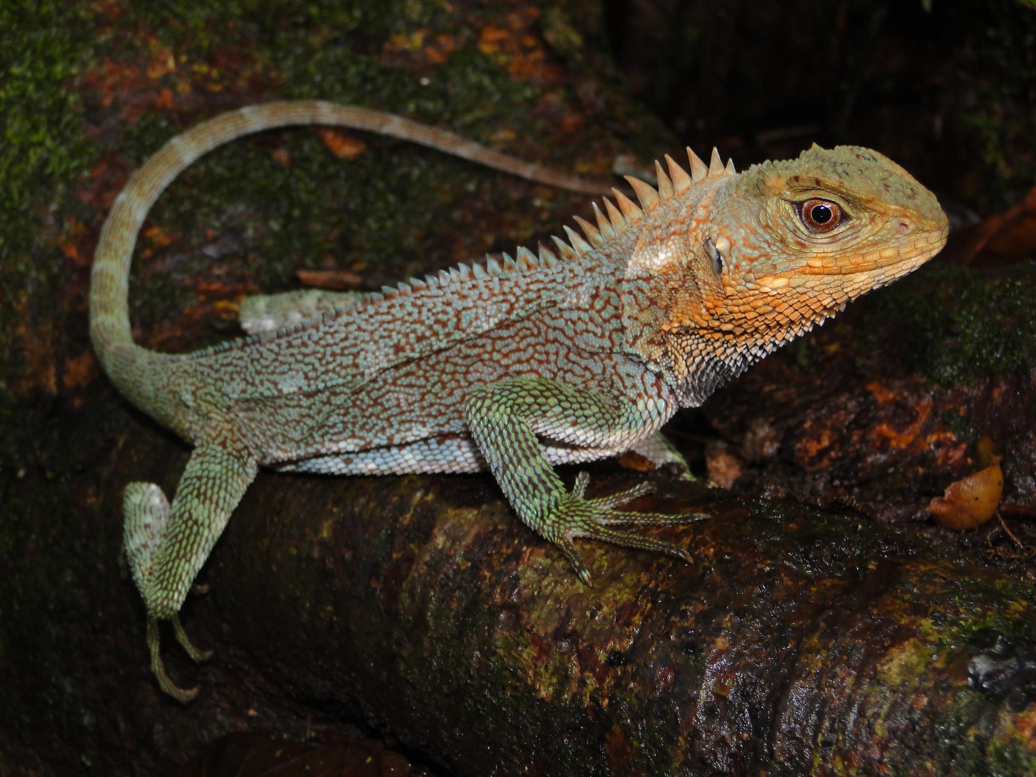 В Южной Америке обнаружили новый драконоподобный вид ящериц