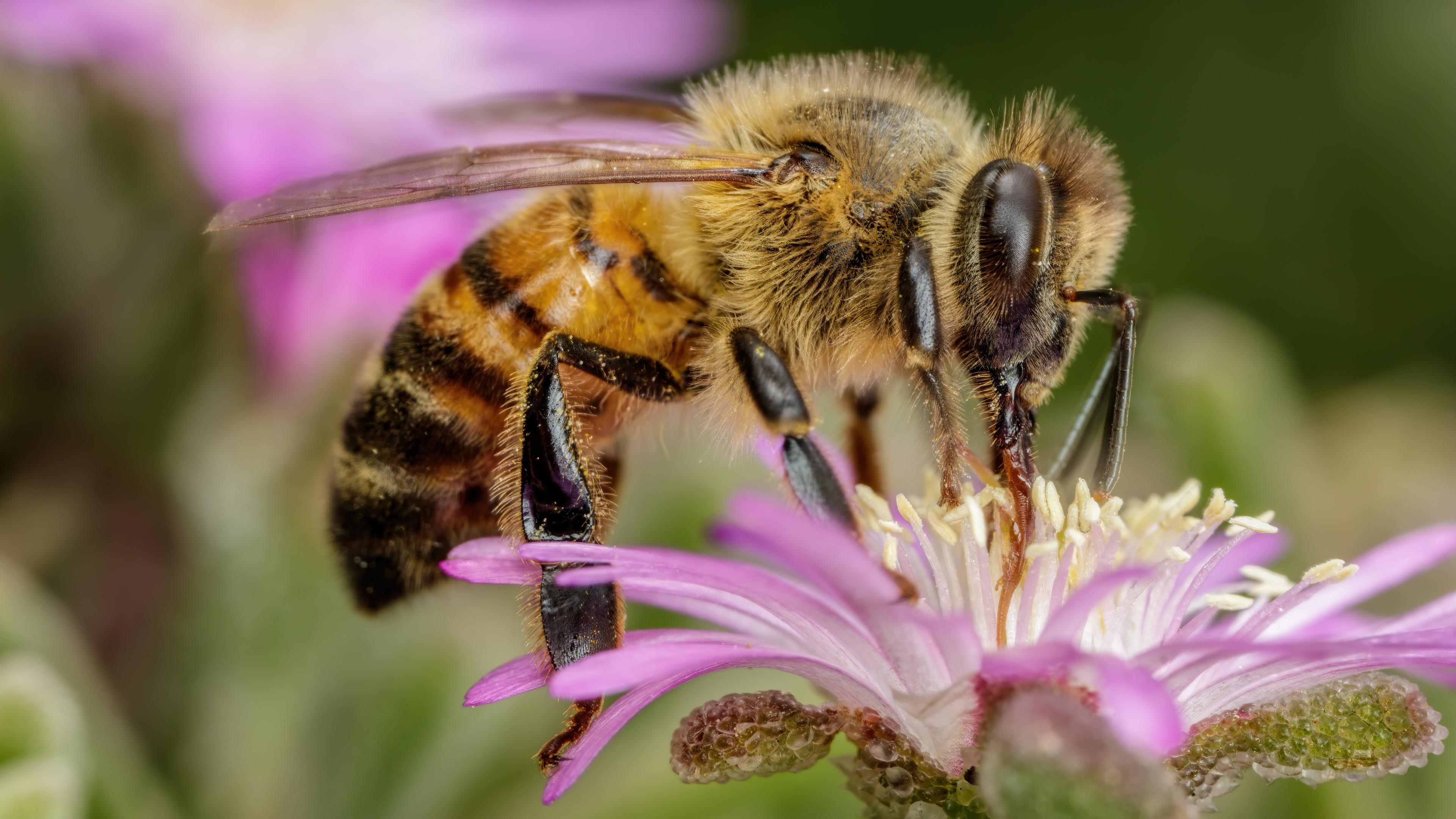 Агрессивные пчелы выделяют более насыщенный яд