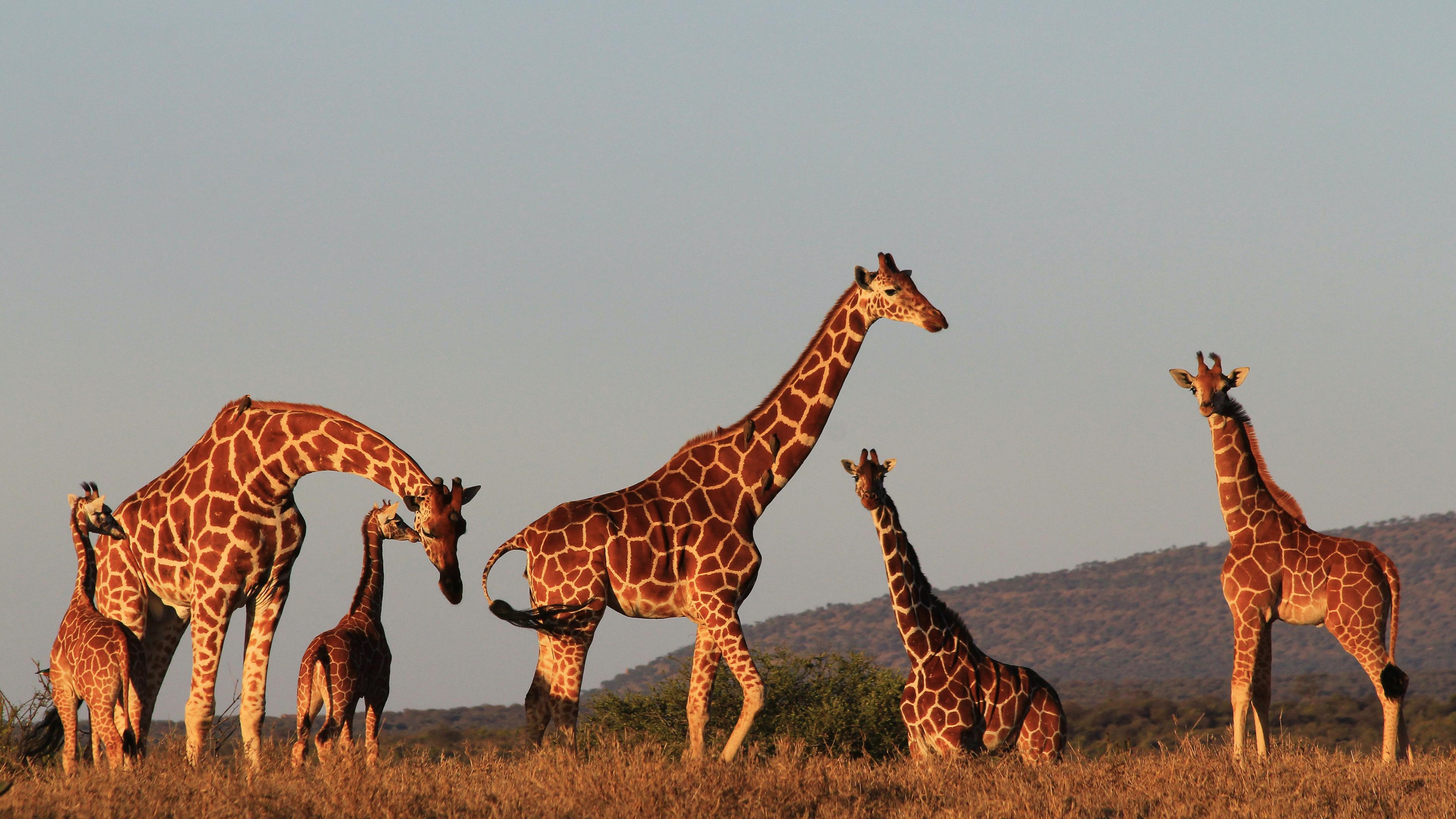 Социальная жизнь жирафов: всё дело в бабушках?