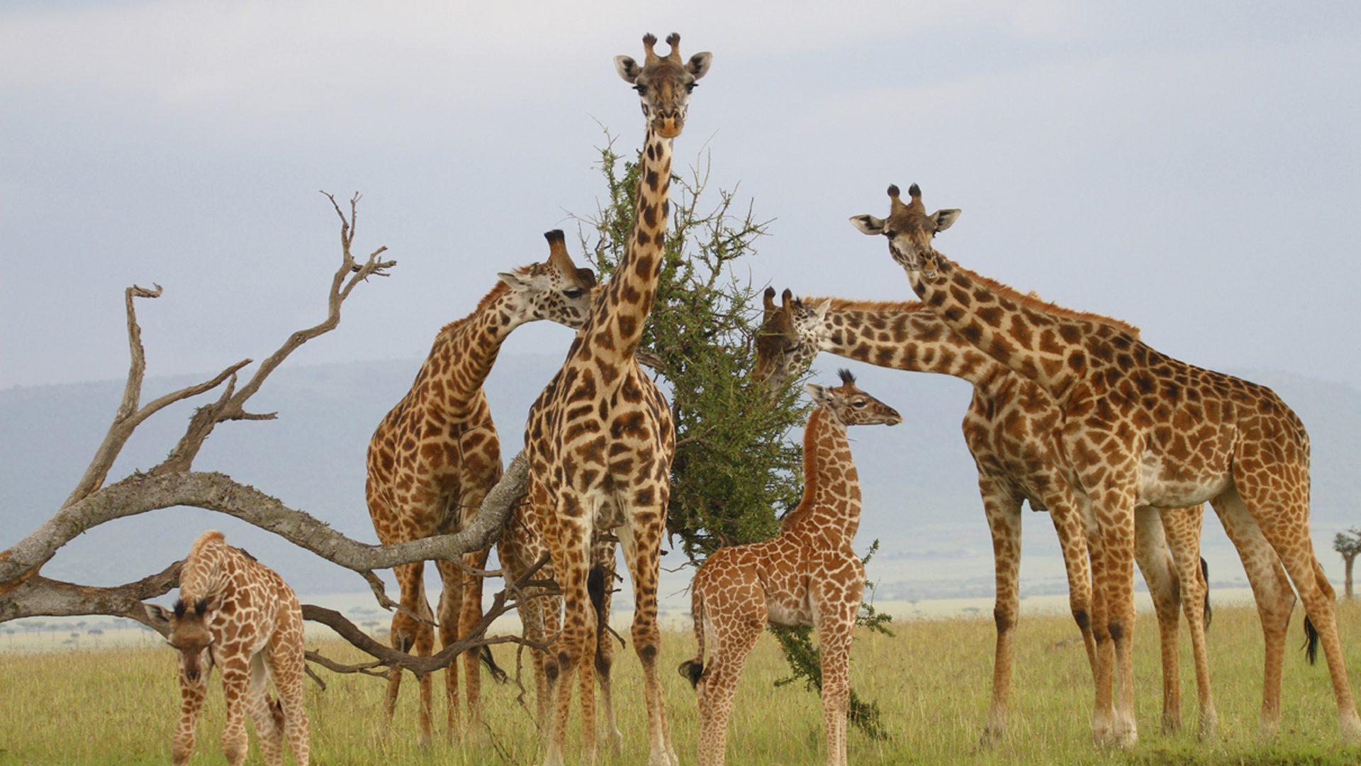 Жирафы оказались высокосоциальными животными с матриархатом