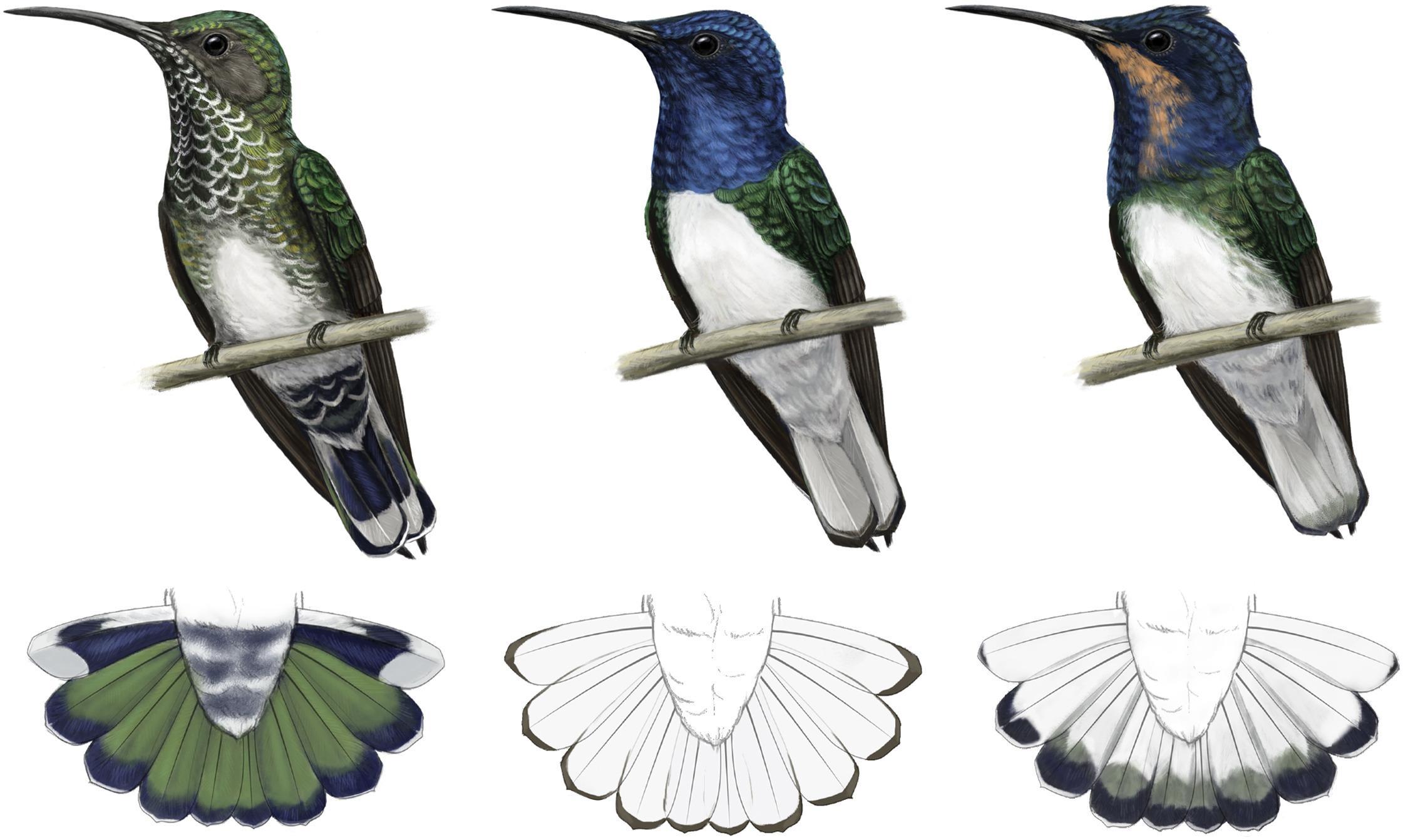Самки колибри-якобинов притворились самцами и избежали конфликтов за пищу