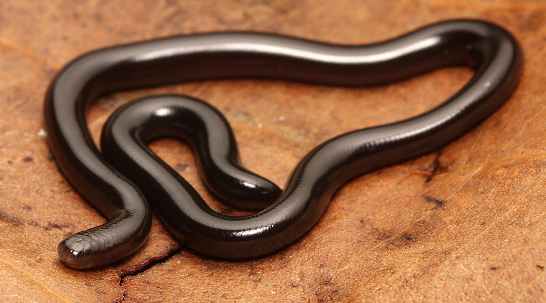 Герпетологи не смогли найти фотографии 781 вида змей
