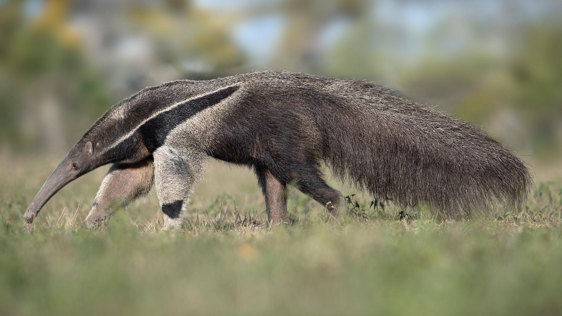 Гигантские муравьеды расширили территории в ответ на нехватку лесных убежищ
