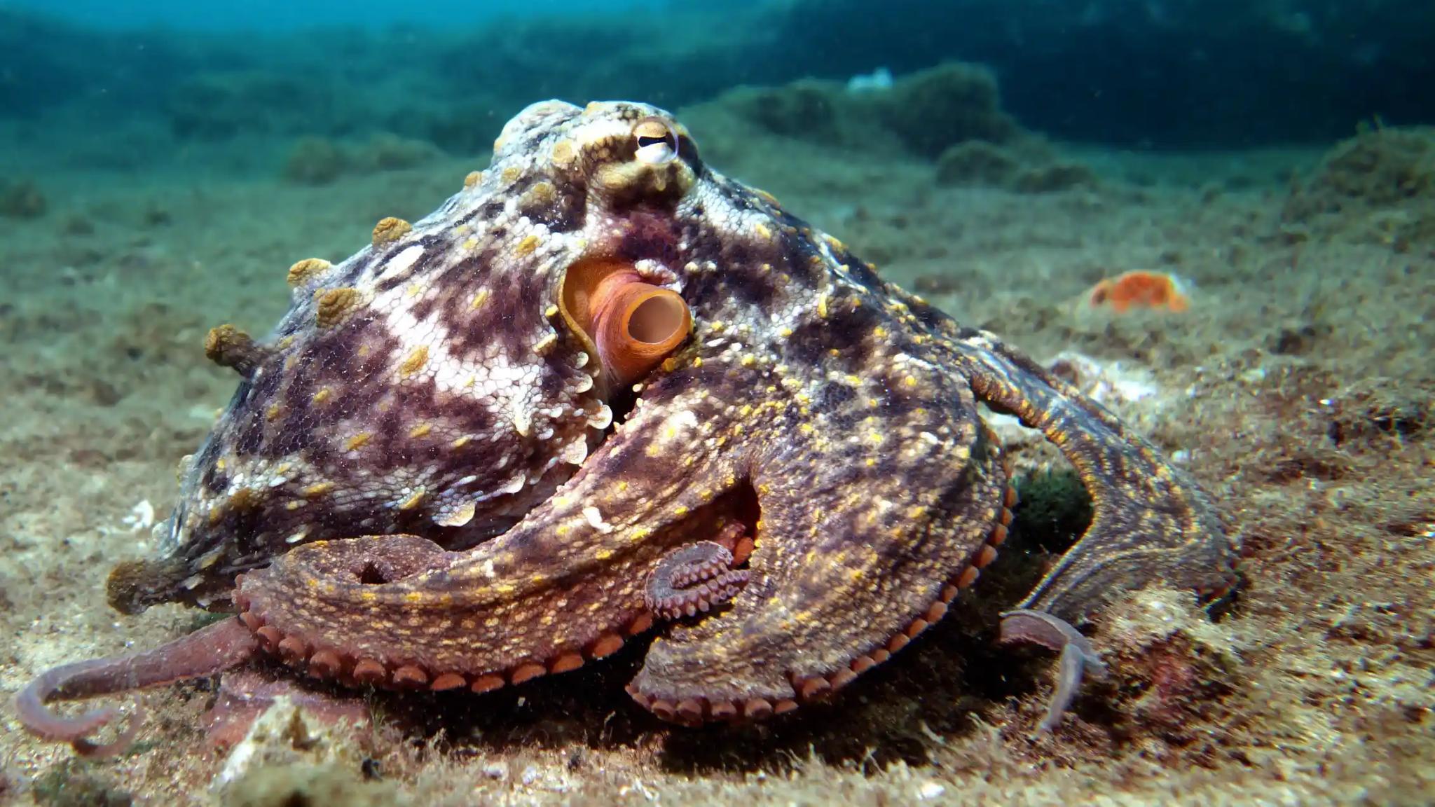 Биологи заметили, что осьминоги могут бросаться друг в друга ракушками