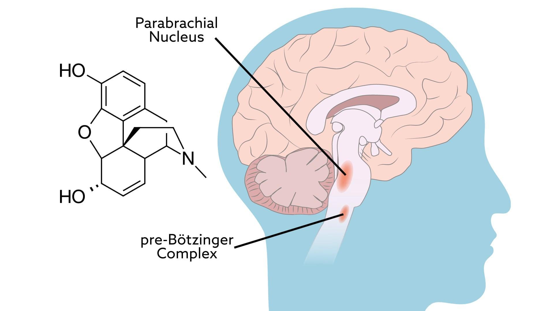 Опиаты «отключают» дыхание напрямую