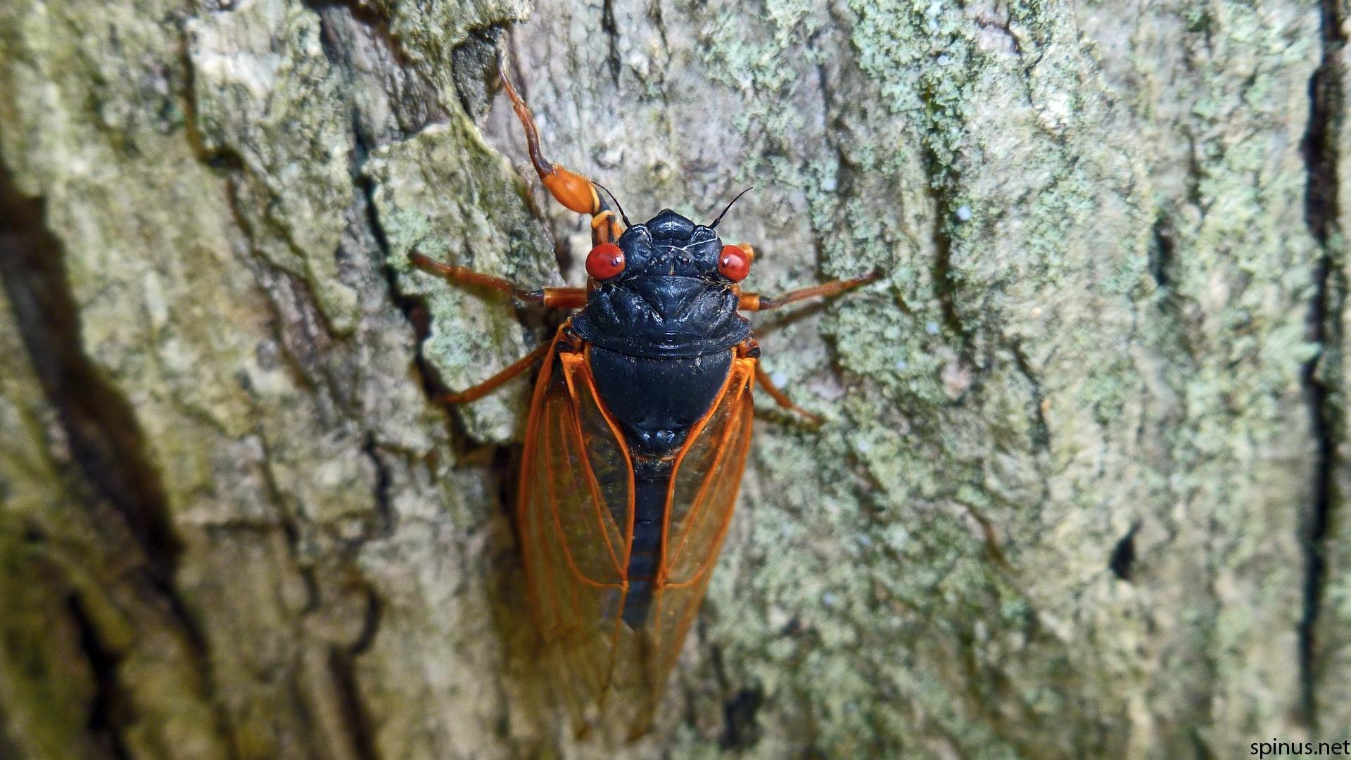 Явление цикад. Почему североамериканские цикады прячутся в земле десятилетиями