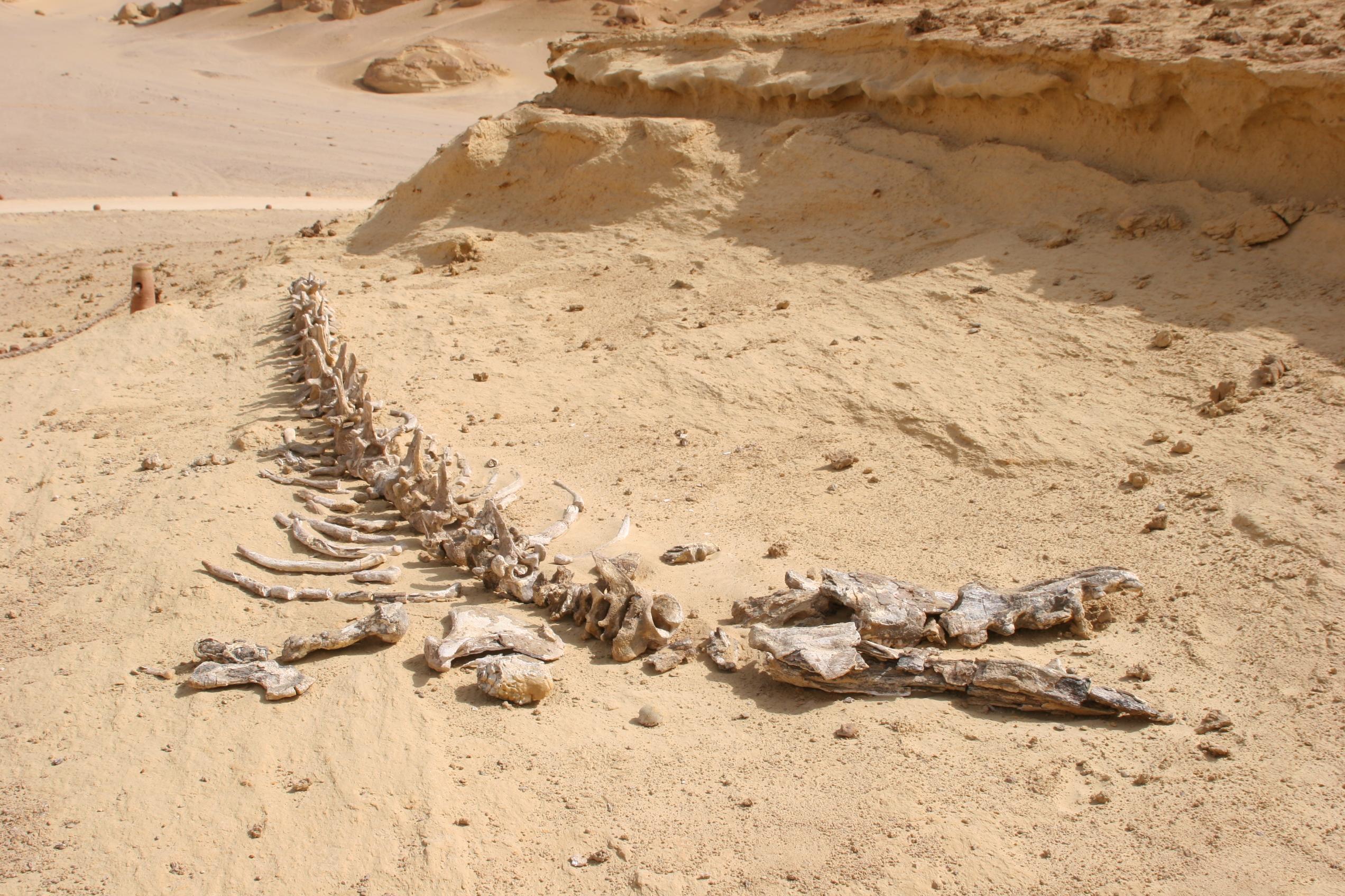 В Египте обнаружили останки ранее неизвестного предка кита с четырьмя конечностями