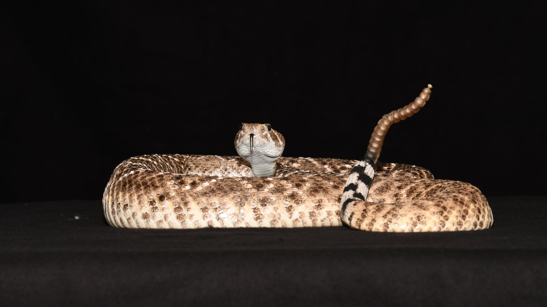 Сигнал гремучих змей оказался средством обмануть приближающееся животное