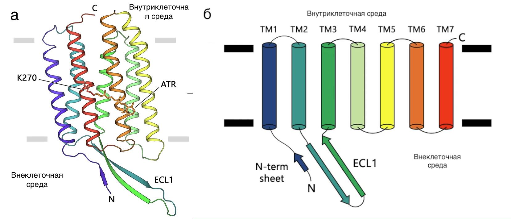 Светочувствительные белки архей и эукариот оказались родственниками
