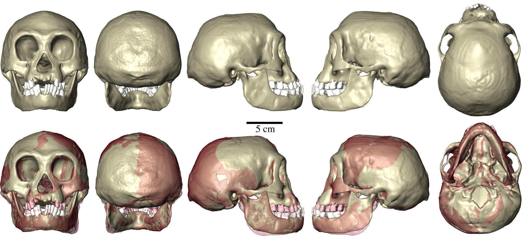 Антропологи выяснили биомеханику черепа карликовых людей с Флореса
