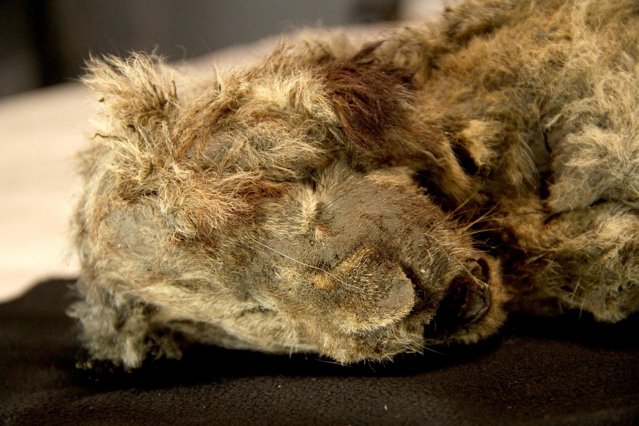 Найдена мумия пещерного льва наилучшей сохранности