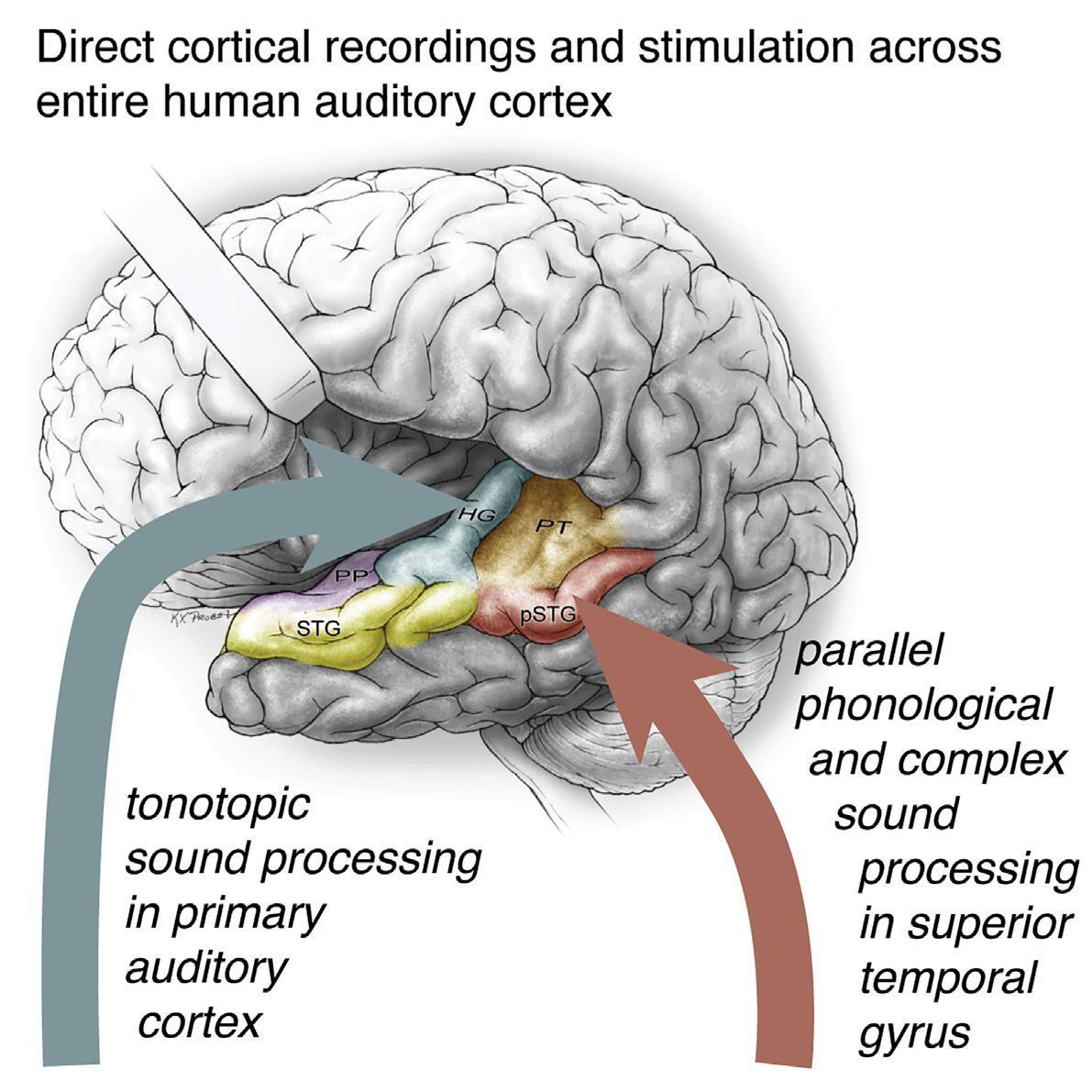 Обнаружен новый путь обработки речи мозгом