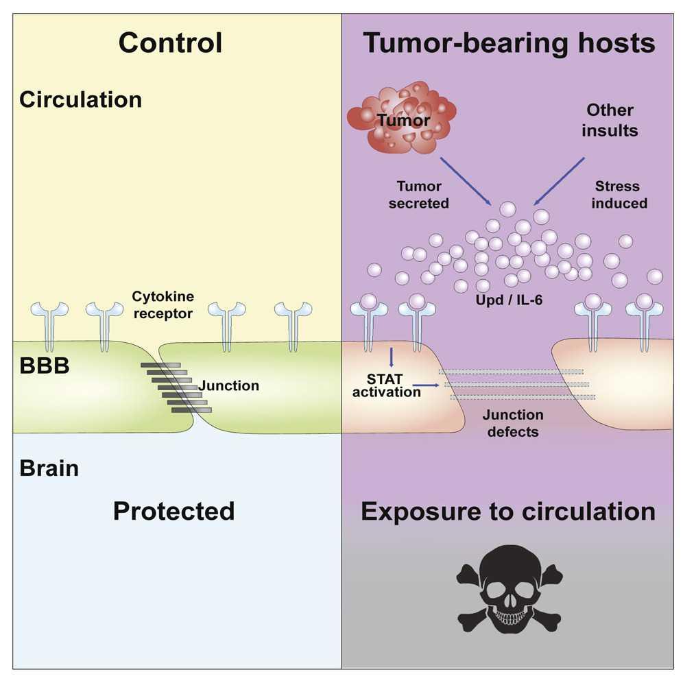 Новый подход к лечению опухолей мозга в два раза продлил жизнь больных мышей