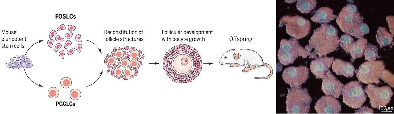 Функциональный фолликул выращен из стволовых клеток