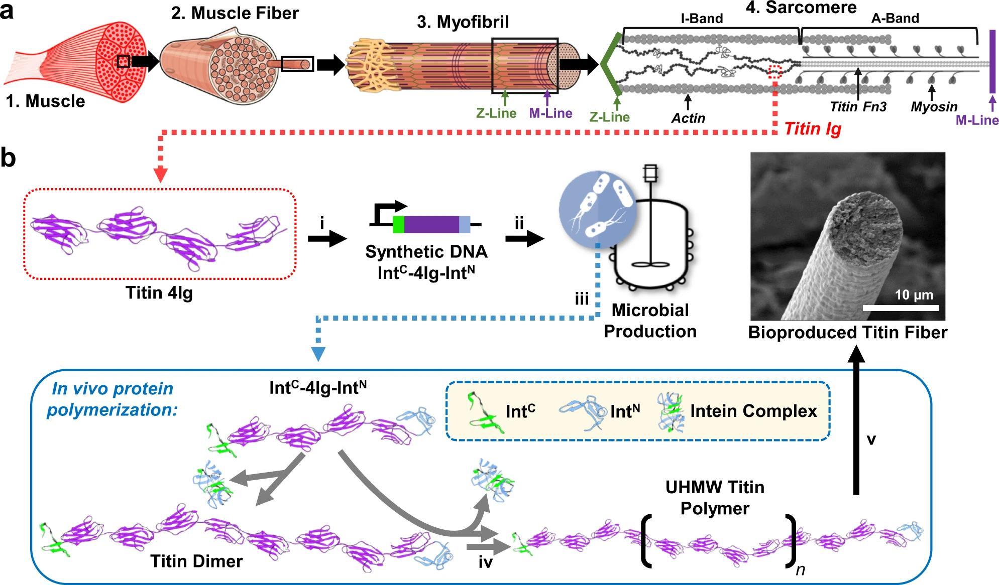 Биологи научились производить мышечные волокна с помощью бактерий
