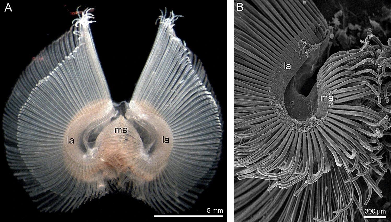 Исследование нервов и щупалец брахиопод приблизило ученых к воссозданию облика нашего древнего предка