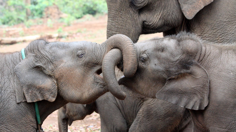 Слонам пошло на пользу наличие в популяции старших сестер и братьев