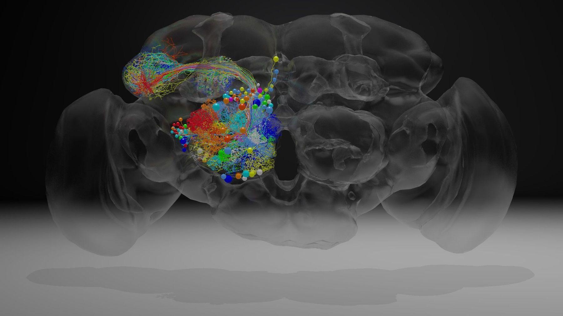 Старение мозга людей и мух объединила работа 50 генов
