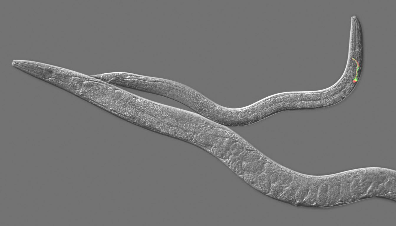 Биологи показали, как происходит «обмен опытом» у червей