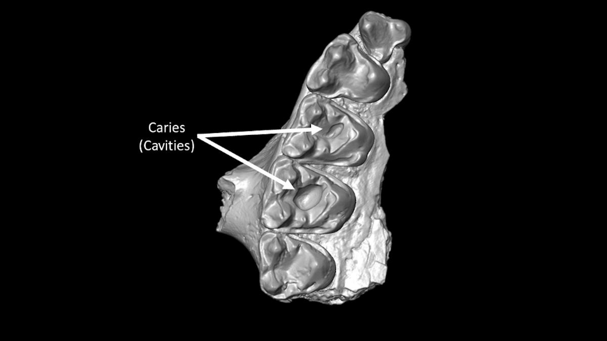 Доисторические приматы оказались сладкоежками