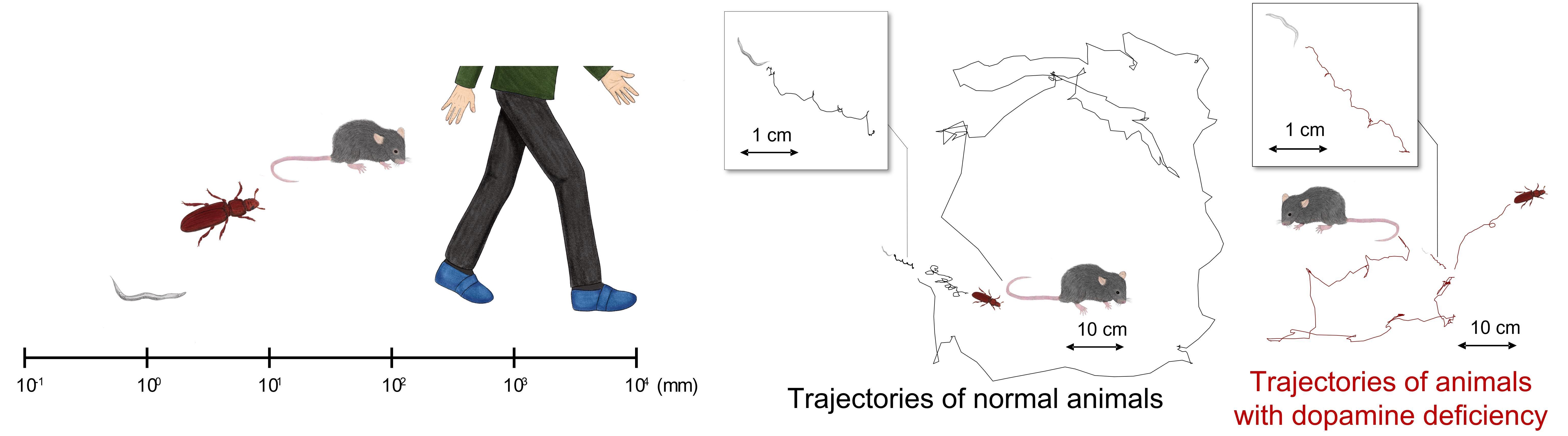 Нейросеть определила особенности походки у животных с болезнью Паркинсона