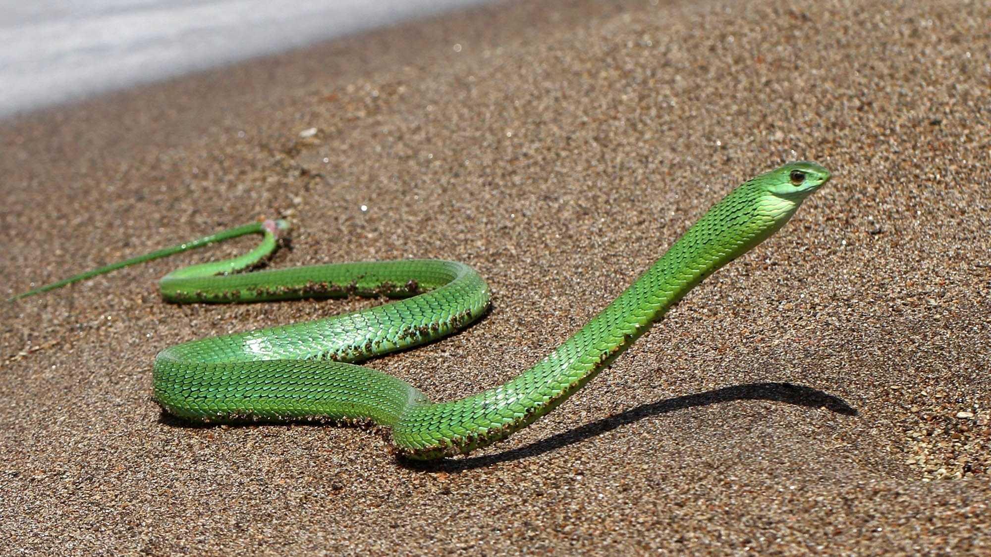Современные змеи произошли от шести переживших динозавров групп