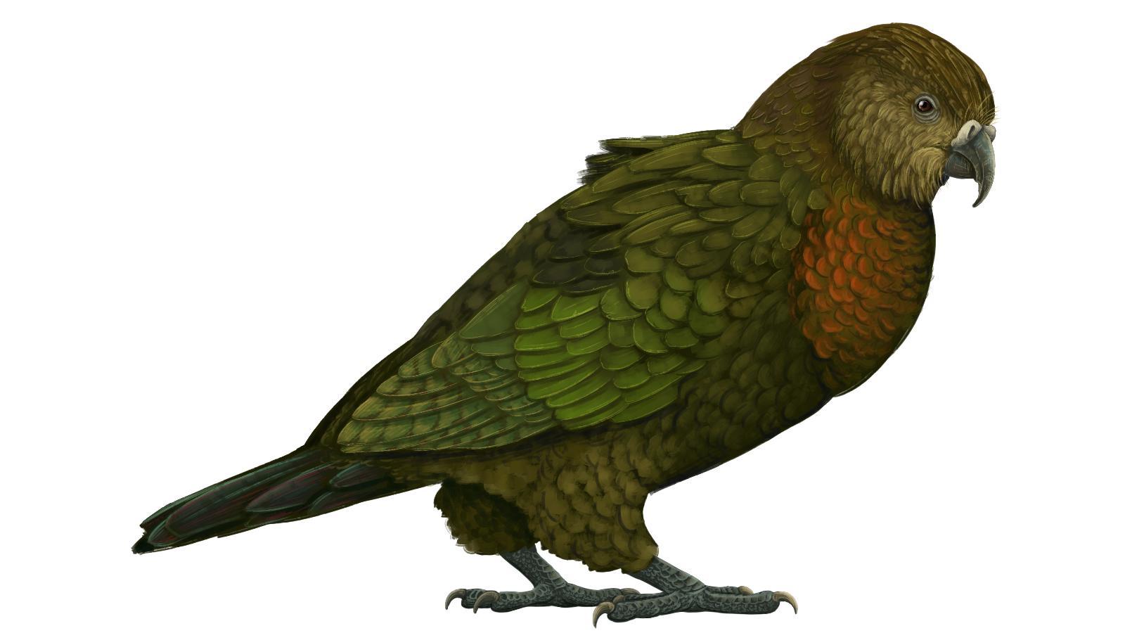 Жившего 19 миллионов лет назад крупнейшего попугая назвали «Неожиданным Гераклом»