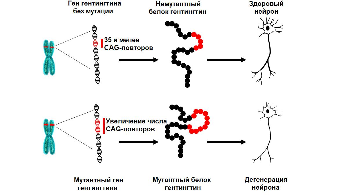 Система «исправления» ДНК сможет остановить болезнь Гентигтона