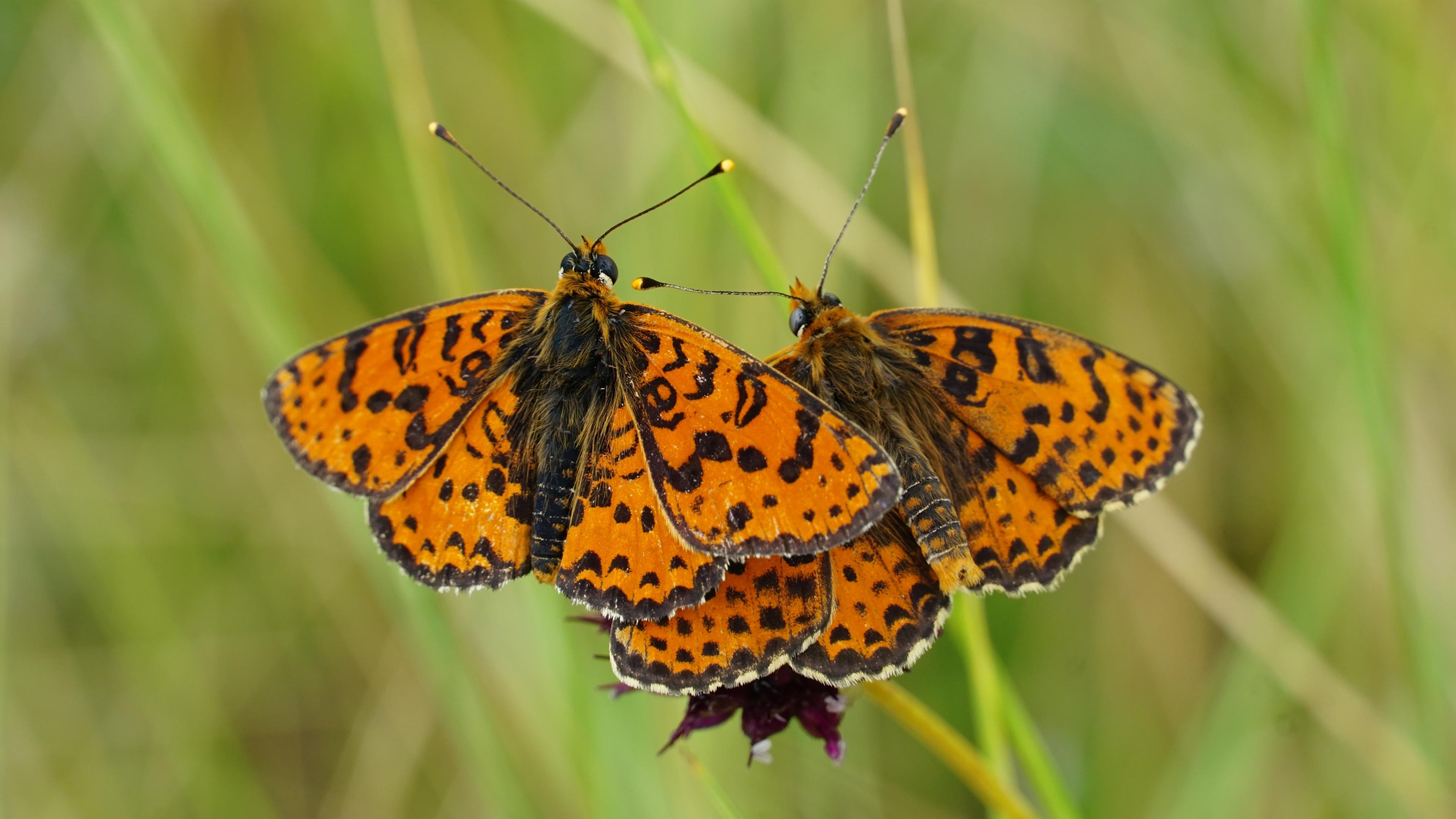 Бабочки-шашечницы выживают благодаря гибридам