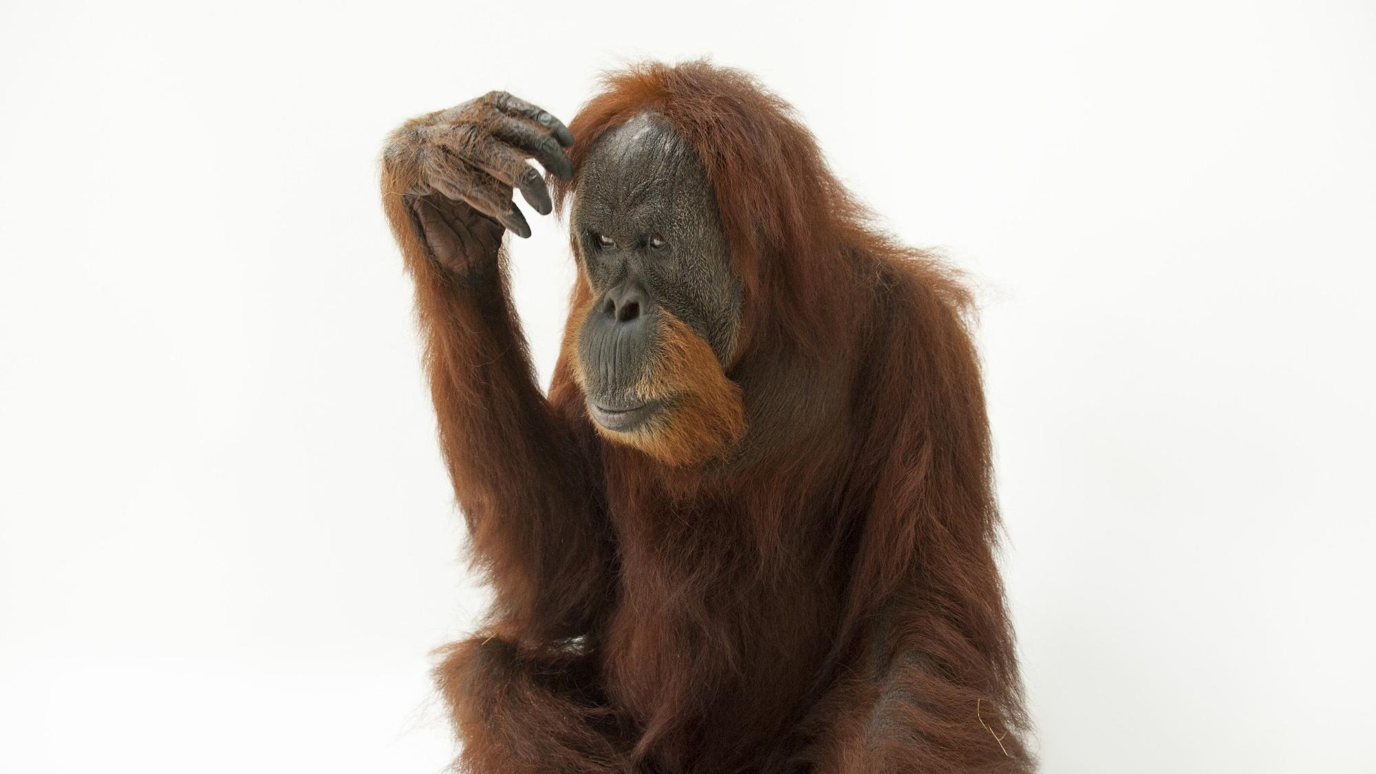 Орангутаны догадались, как расколоть орех тяжелым предметом