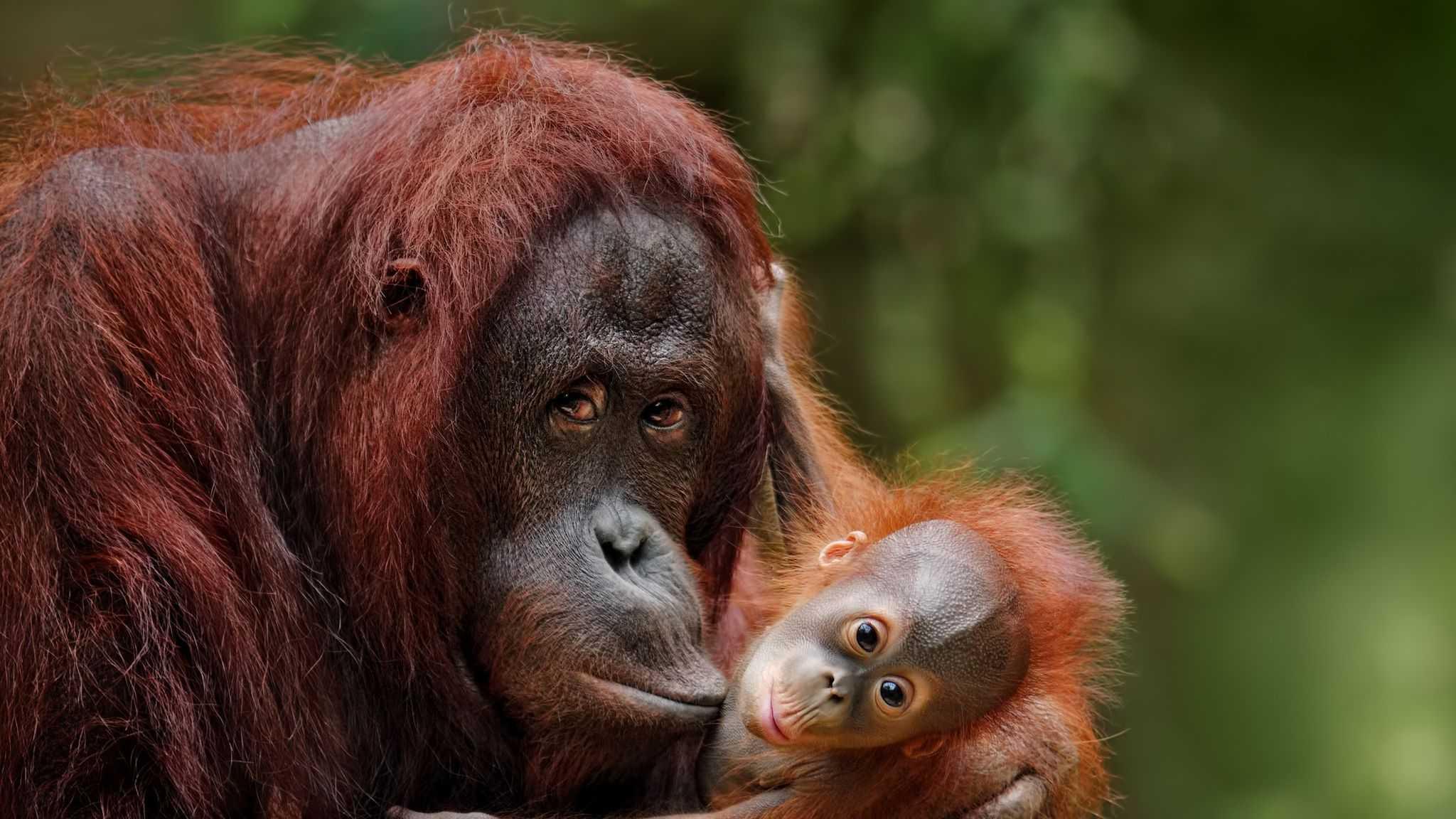 При помощи сигналов орангутанов ученые показали, как мог развиваться человеческий язык