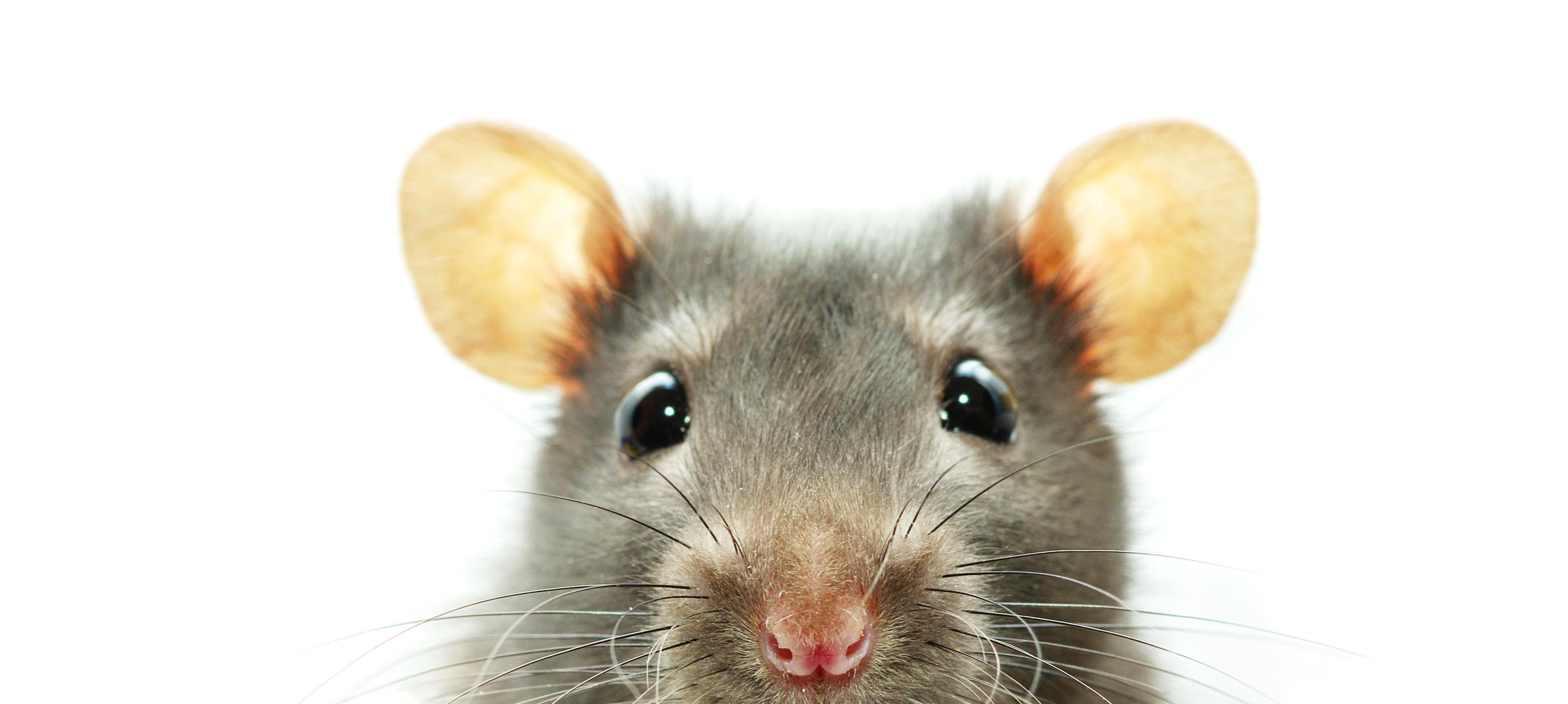 Эпизодическая память крыс оказалась лучше, чем думали раньше