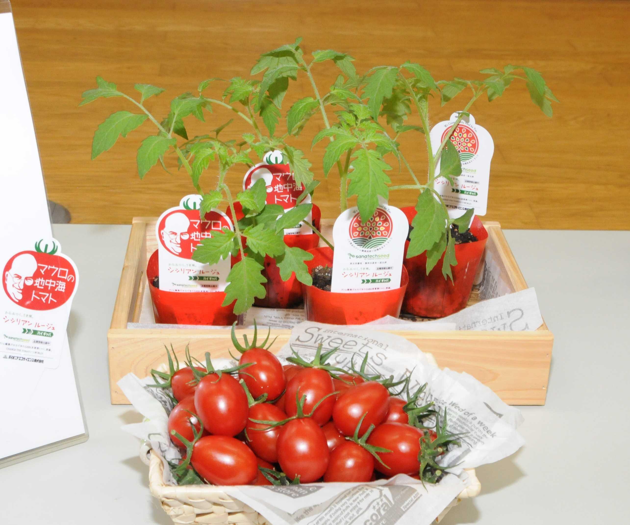 Томаты Sicilian Rouge High GABA, созданные с помощью CRISPR, одобрены для продажи в Японии