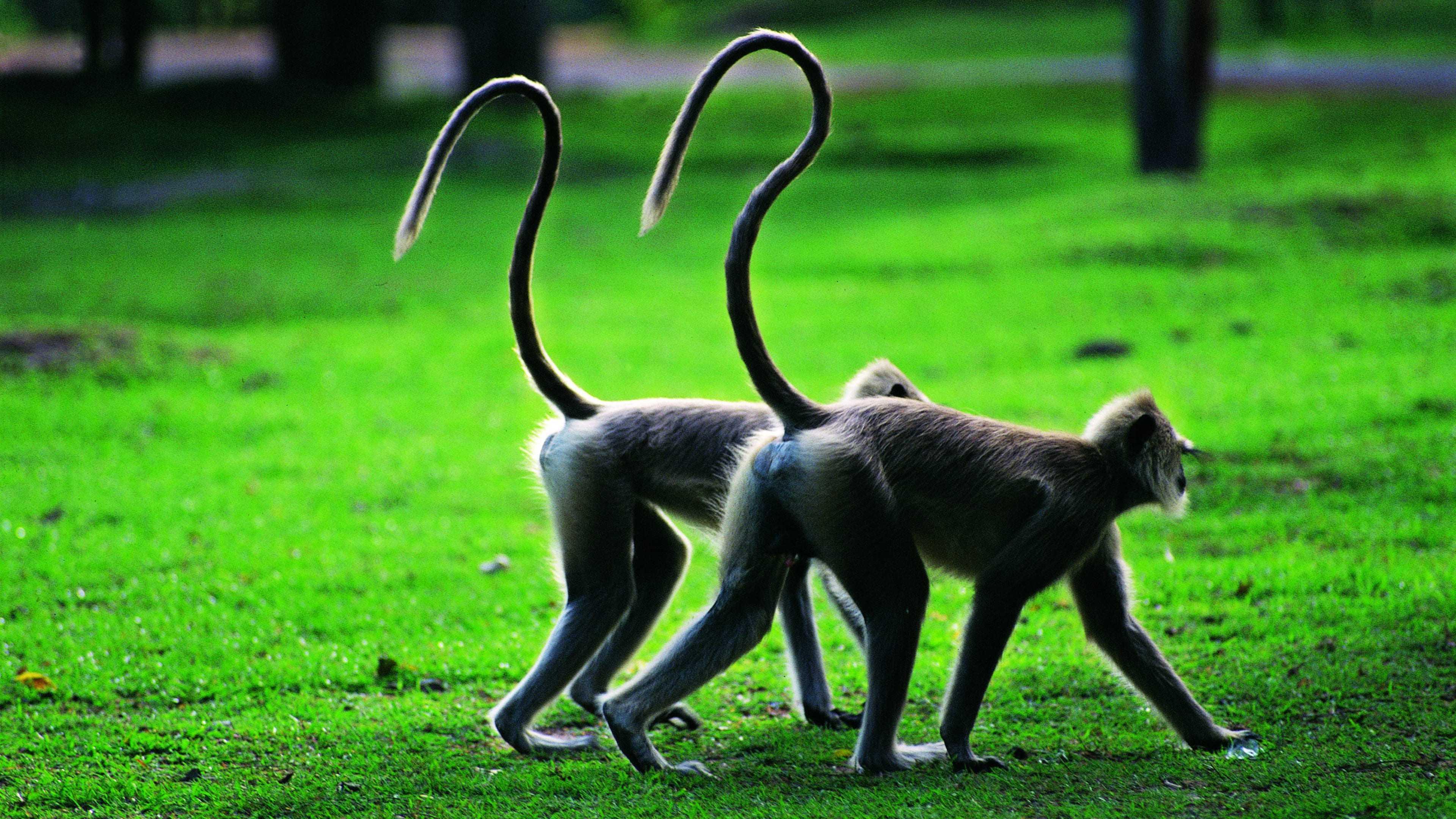 Прыгающие гены лишили обезьян хвоста