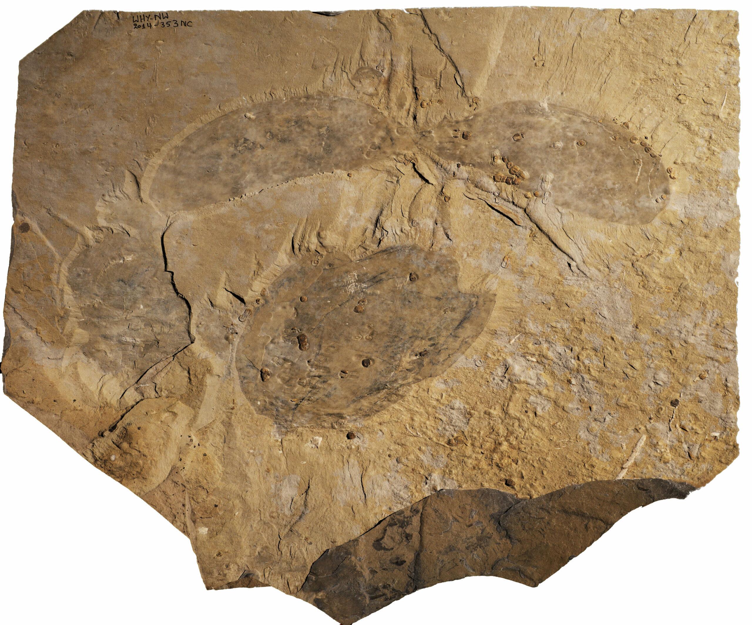 Найден новый вид крупного кембрийского животного