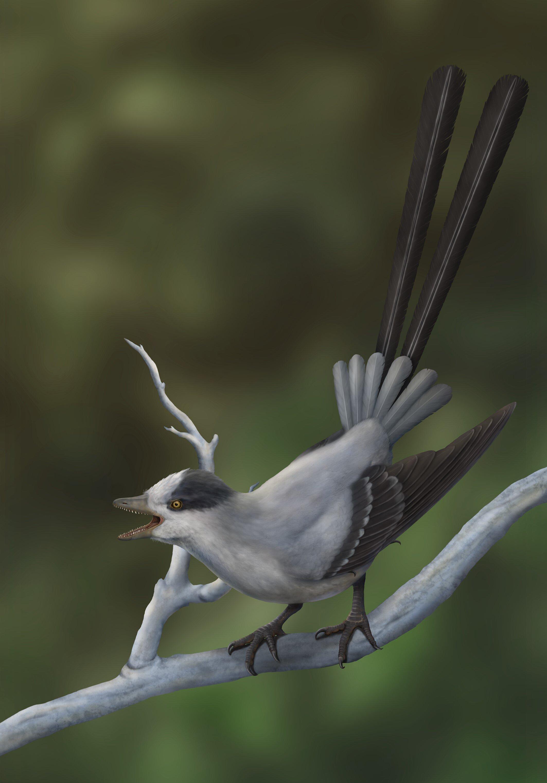 Найдена ископаемая птица с очень длинным хвостом