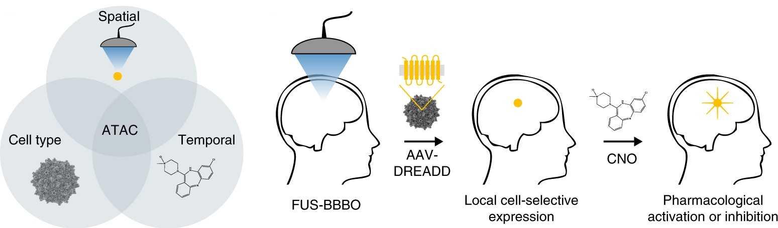 Хемогенетику и ультразвук объединили для контроля активности мозга