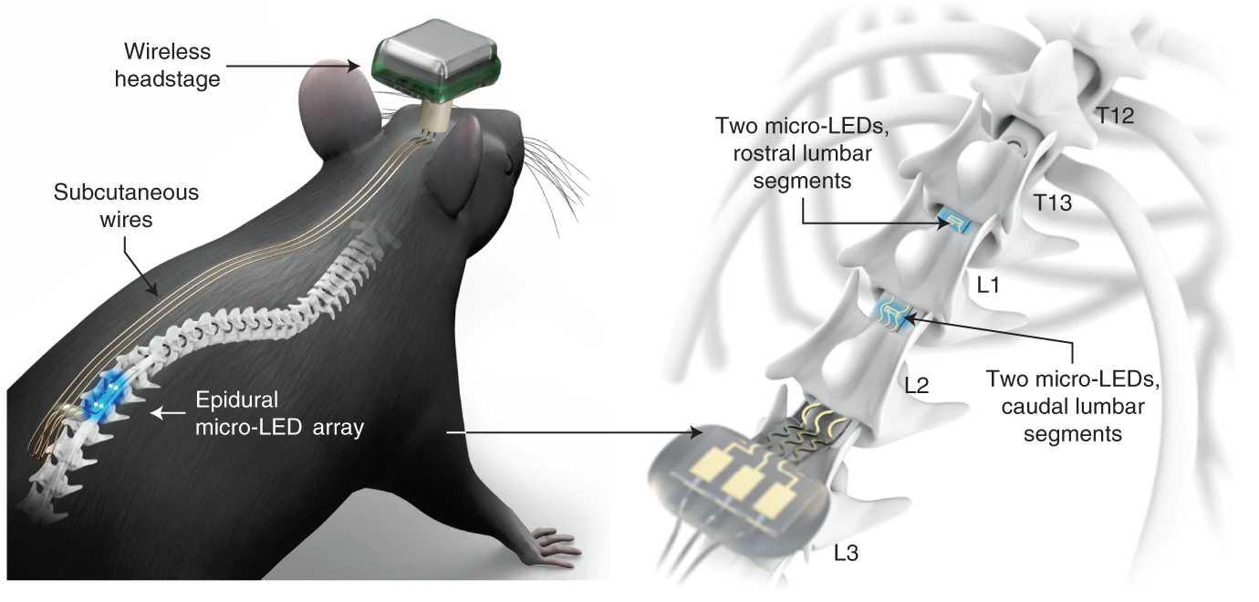 Оптогенетика для спинного мозга