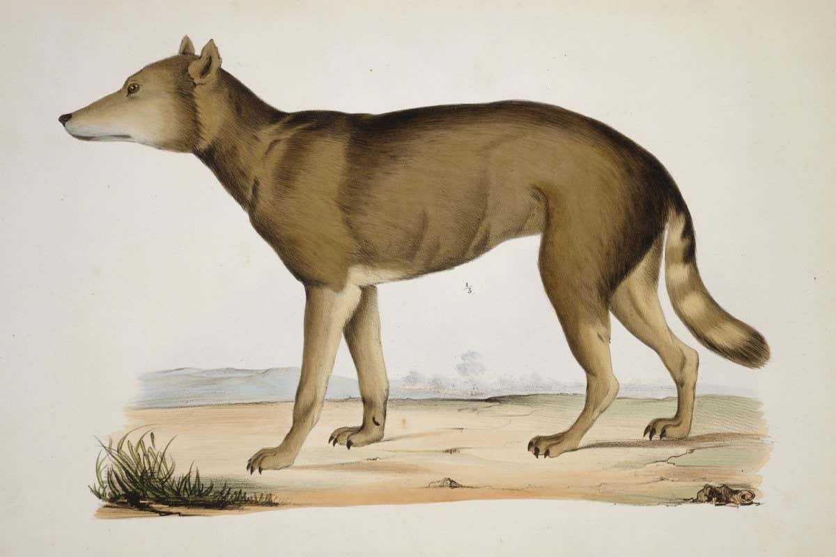 Японского волка посчитали ближайшим родственником собак