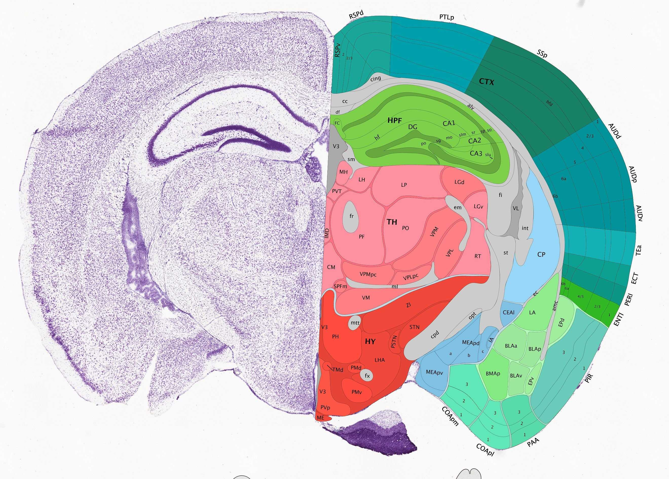 Геномный атлас мозга мыши с замахом на человека