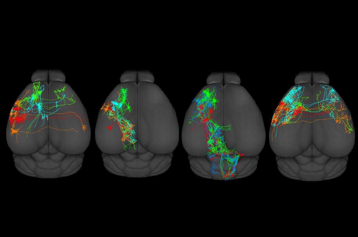 Для коры мозга делают нейронный атлас