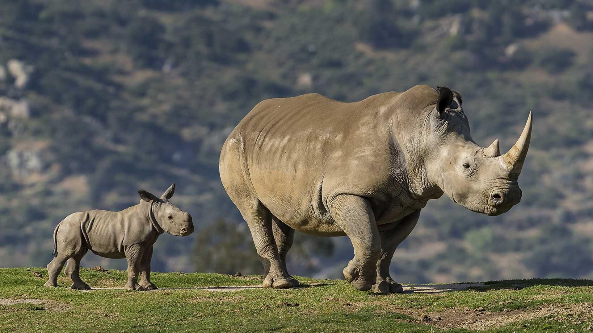 Ученые составили эволюционное древо носорогов