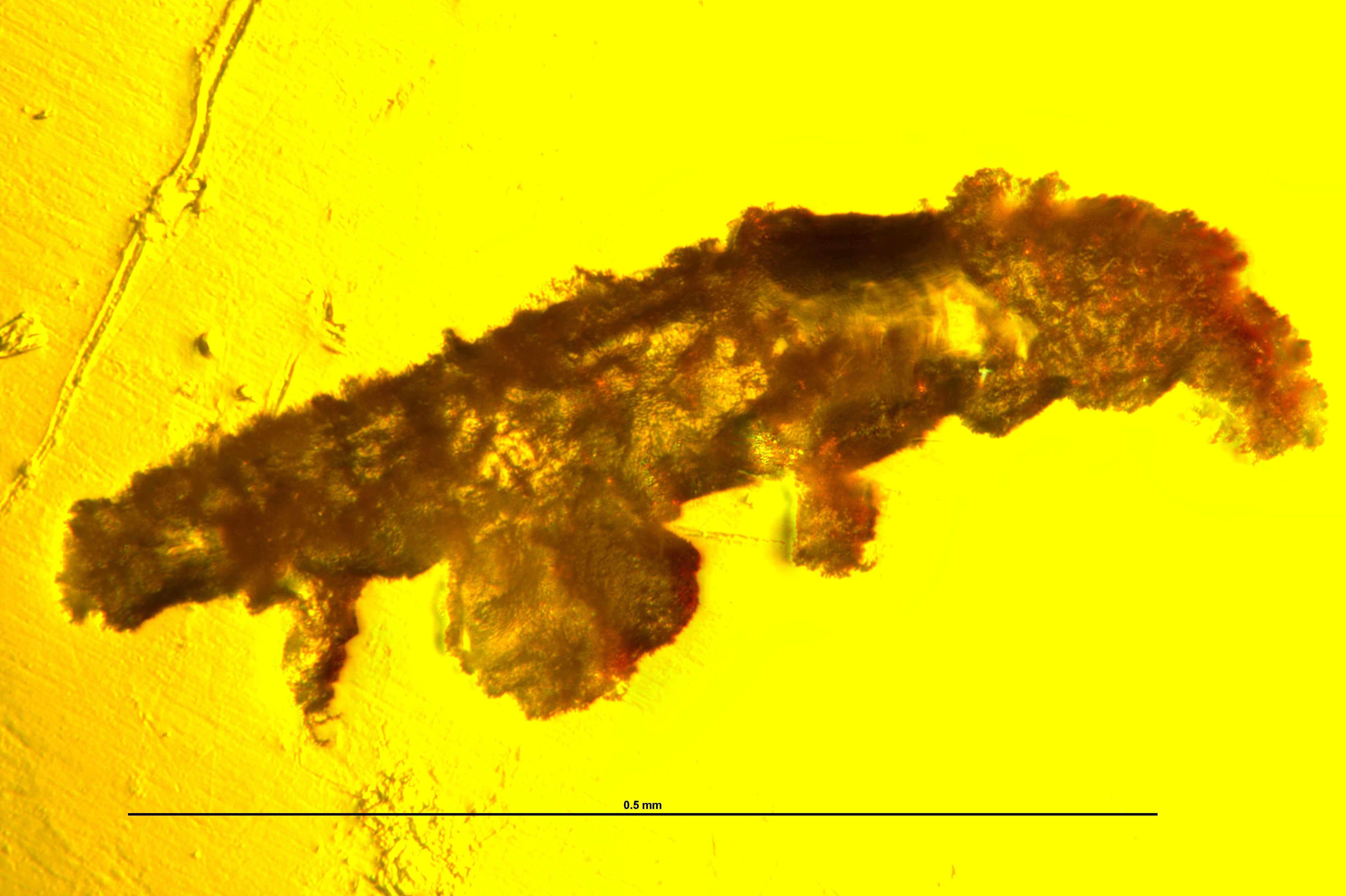 В древнем янтаре разглядели тихоходку возрастом 16 миллионов лет